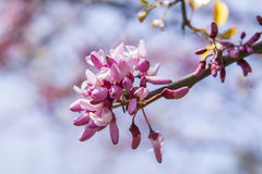 Background branch of Judas tree blossoms Stock Photo