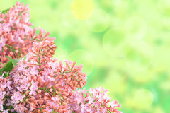 Background with branch of pink lilac Royalty Free Stock Photo