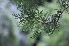 Background with branches arborvitae thuja evergreen tree cypres. Cypress branch in rim sunlight with copy space. background with branches arborvitae thuja Stock Photos
