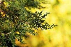 Background with branches arborvitae thuja evergreen tree cypress Stock Photo