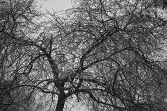 Background of the branches of a bare tree Royalty Free Stock Photo