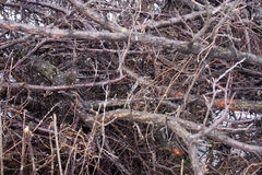 Background branches.brushwood Royalty Free Stock Photo