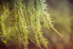 Background of the branches of larch in the sunlight Royalty Free Stock Photo