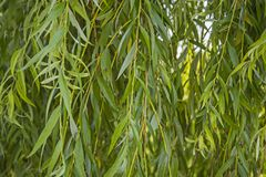 Branches of the weeping willow. Background of branches and leaves of willow Stock Photos