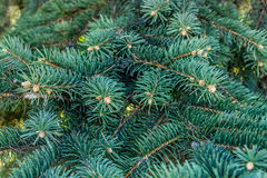 Background from branches of a natural fur-tree. Blue spruce bran Stock Images