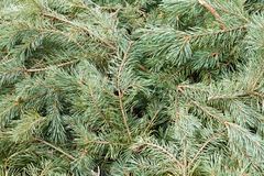 Background of branches and needles from a pine Stock Images