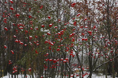 Background of branches  ripe rowan, bunches  snow falling asleep. For your design.  Selective focus. Royalty Free Stock Photo