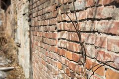 Background of a brick wall and branches of a bush in the spring.  Royalty Free Stock Photo