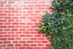 Background Brick wall with vine branches Royalty Free Stock Image