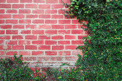 Background Brick wall with vine branches Royalty Free Stock Images