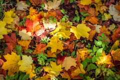 Background from bright autumn leaves of a maple Stock Images