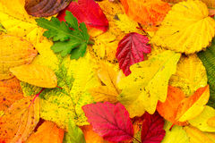 Background of bright fallen autumn leaves close-up. Top view Stock Images