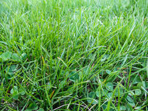 Background of bright green grass with clover leaves  top view. Among the grass blades are trefoils close up Stock Photography