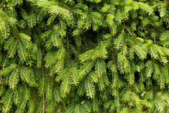 The background of bright green spruce Royalty Free Stock Images