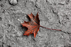 Background with bright maple leaf Stock Image