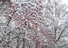 Bunches of red mountain ash under snow stock images