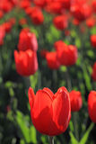 Background with bright red tulips Royalty Free Stock Image