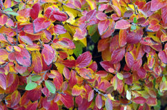Background of bright red and yellow leaves of a bush. Close-up with shallow depth of field. Selective focus on front leaves Stock Photo