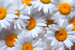 Background with bright summer camomiles Stock Photo