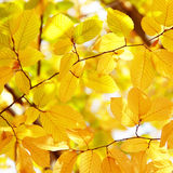 Background of bright yellow leaves in autumn Royalty Free Stock Photo