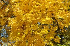 Background of bright yellow maple leaves on the tree. Background from bright yellow maple leaves on tree branches royalty free stock photo
