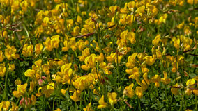 Field of bright yellow trefoil flowers Stock Photography