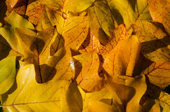 Background of bright yellow wet tuliptree leaves Royalty Free Stock Photo