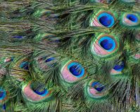 Background Brilliant Feathers Royalty Free Stock Image