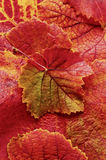 Background of brilliant orange,red and yellow grape leaves Royalty Free Stock Photo