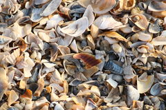 Background of broken seashell fragments on the sandy beach of Southern Ukraine. Royalty Free Stock Images