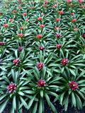 Background of bromeliad plants with red centers and green leaves form a pattern royalty free stock images