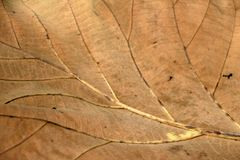 Brown color of dry leaf, Dry leaf of teak tree. Background of Brown color of dry leaf, Dry leaf of teak tree Stock Image