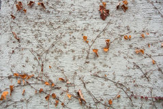 A background with brown dry grape branches and leaves rising on a white rough painted wall Stock Images