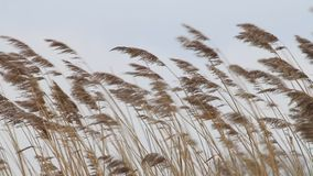 Background brown grass in strong wind stock video