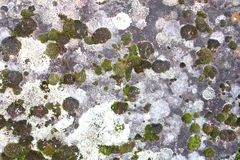 Background of bryophyte in different colors. Background of bryopyte in different colors at a natural stone Stock Image
