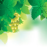 Background with a bunch of grapes and grape leaves. Soft vector background with a bunch of grapes and grape leaves Royalty Free Stock Images