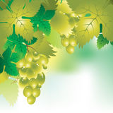 Background with a bunch of grapes and grape leaves. Soft vector background with a bunch of grapes and grape leaves Royalty Free Stock Photography