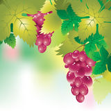 Background with a bunch of grapes and grape leaves Stock Photography