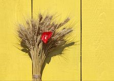 Background with a bunch of ripe Golden wheat heads and red poppy. Flower on a wooden painted walls royalty free stock photo