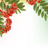 Background with bunch of rowan Royalty Free Stock Image