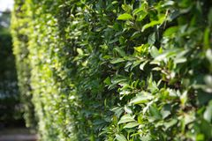 Bunch of Wrightia Religiosa on Wall stock images