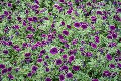 Background of burgundy petunia flowers Royalty Free Stock Image