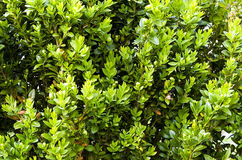Background of buxus Royalty Free Stock Photo