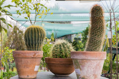 Background, cacti, nature, clay, cactus, pot, flower, plant, succulents, pots, garden, green, succulent, white, natural, growth, b Royalty Free Stock Photo