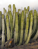 Background with cactus Royalty Free Stock Photography
