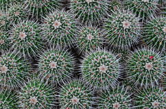 Background cactus pattern. Needles and pins, green background cactus pattern royalty free stock photo