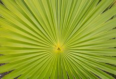 California Fan Palm Frond Background Stock Photography