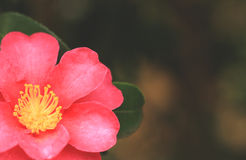 Background with camellia Stock Photos