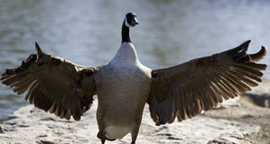 Background with a Canada goose Stock Photos