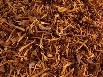 Background - Cantharellus lutescens Royalty Free Stock Images